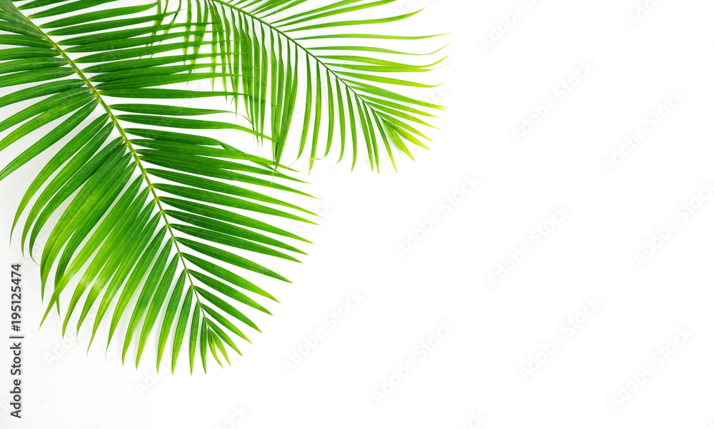 Fototapety, obrazy: GReen leaves palm isolated on white background.