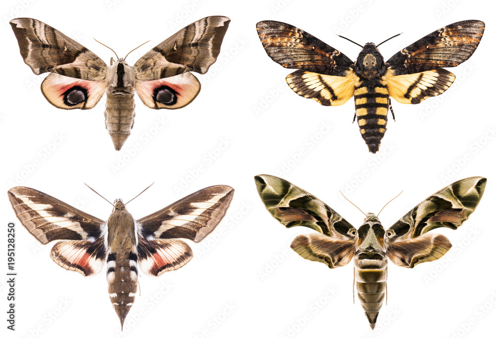 Set of four Sphingidae hawk-moths