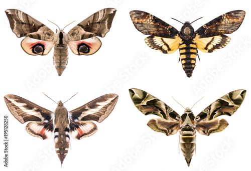 Set of four Sphingidae hawk-moths