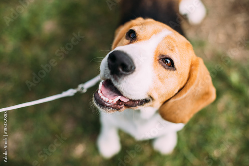 Poster Chien Beautiful Tricolor Puppy Of English Beagle Sitting On Green Grass