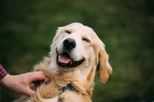 Close View Of Funny Young Happy Labrador Retriever. Smiling Dog