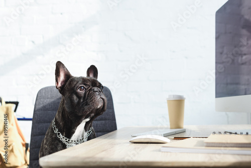 Foto op Plexiglas Franse bulldog Black Frenchie sitting on chair by computer on table