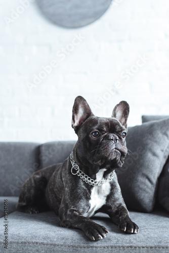 Tuinposter Franse bulldog Close-up view of cute french bulldog lying on grey sofa