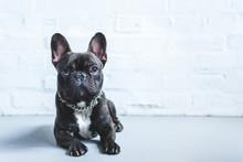 Cute French Bulldog Lying On F...