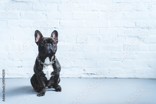 Papel de parede  Cute Frenchie dog sitting on the floor