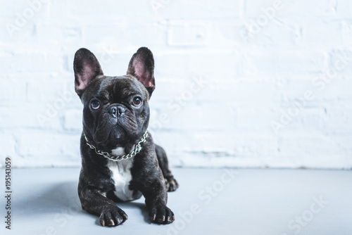 Fototapeta Cute French bulldog lying on floor and looking up