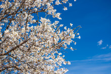 Almond Blossom In Early Spring With Blue Sky In The Background.