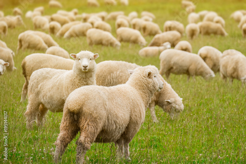 Foto op Canvas Schapen Flock of sheeps grazing in green farm in New Zealand