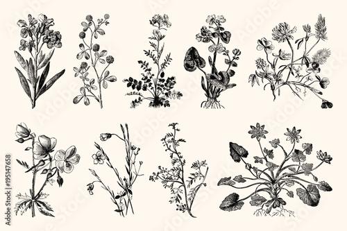 Fotografia Botanica Line Art - Vintage Floral Engravings