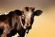 Young Brown Cow Portrait. Unknown Species.