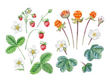 Wild Berries Set. Watercolor Hand Painted Cloudberries And Wild Strawberry Set. Can Be Used As Design Template, Print, Poster, Invitation, Greeting Card, Packaging Design, Stickers, Book Illustration.