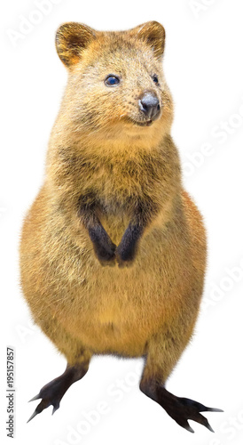 A cute Quokka standing, isolated on white background. The ...