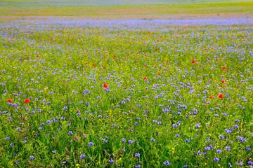 Fototapeta Les fleurs sauvages