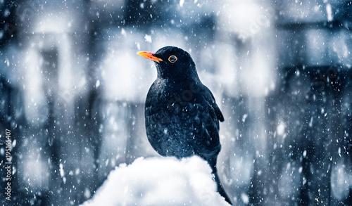Blackbird in winter snowstorm Canvas Print