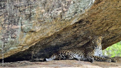 Naklejka premium Lampart na skale. Samica lamparta lankijskiego (Panthera pardus kotiya). Sri Lanka. Park Narodowy Yala.