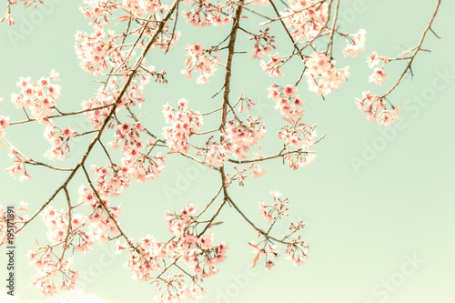 Soft focus Cherry Blossom or Sakura flower on nature background Canvas Print