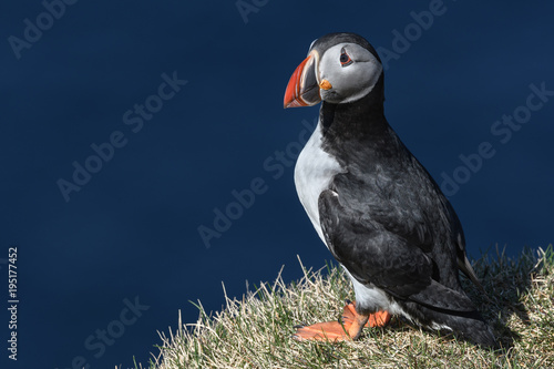 Puffin enjoys a beautiful day on the Langanes Peninsula bird cliffs in north Ice Poster
