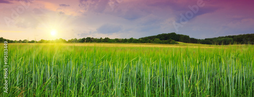 Foto op Plexiglas Cultuur Sunset on green barley field .
