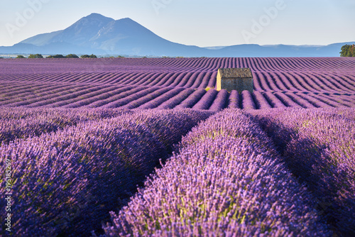 Lavender fields in Plateau de Valensole with a stone house in Summer. Alpes de Haute Provence, PACA Region, France - 195185269