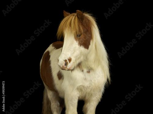 Fotografie, Obraz  Braun und weiß geschecktes Pony mit dichtem Winterfell im Fotostudio vor schwarzem Hintergrund