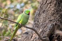 Rose-ringed Parakeet At Bharat...