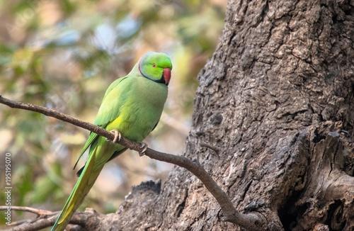 Photo Rose-ringed Parakeet at Bharatpur