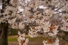 White Cherry Blossum With Soft...
