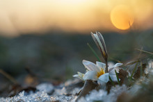 Snowdrops. Spring. Sunset.
