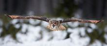 Eagle Owl, Bubo Bubo, Biggest ...