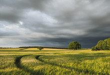 Storm Clouds Over A Field Of Barley At Sunset. Norfolk, UK.