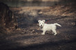 A beautiful small cute white shaggy dog with protruding ears and tail of the Bolognese breed walks on a red long leash in the autumn or winter park near hemp. Friendship of man and animal, pets
