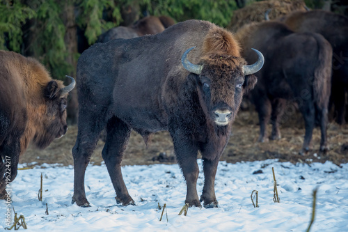 Valokuvatapetti aurochs, bison, buffalo, animal