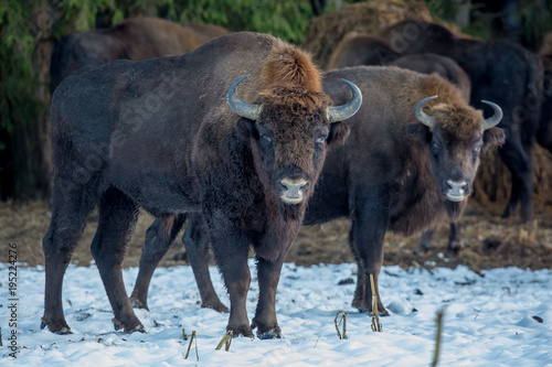 Fotografia, Obraz  aurochs, bison, buffalo, animal