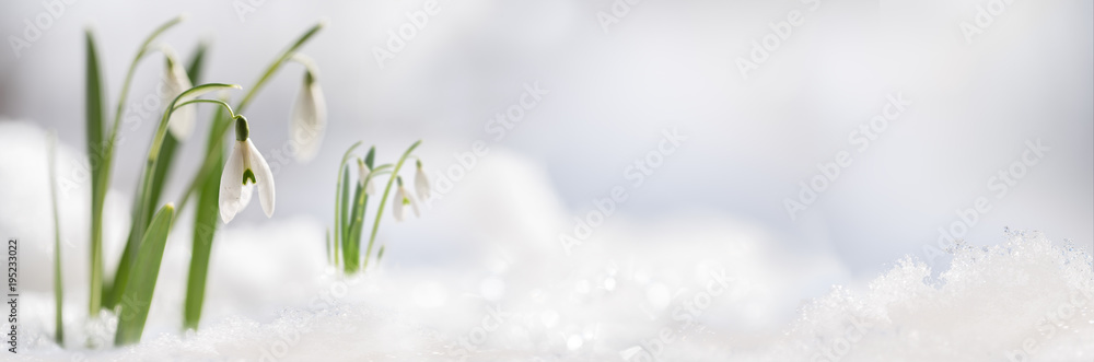 Fototapety, obrazy: Snowdrop flowers (Galanthus nivalis) growing out of the snow, panoramic banner format with large copy space on the right
