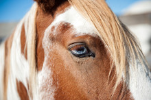 Horse With Blue Eyes In A Arge...