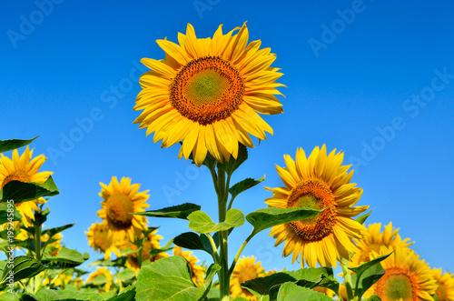 Plakat Młodzi słoneczniki kwitną w polu przeciw niebieskiemu niebu