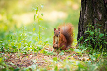 A Red Squirrel Stands Near A Tree With A Nut.