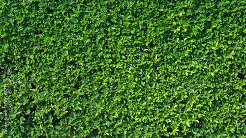 Foto  banyan wall tree