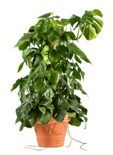 Leafy Green Delicious Monster Plant