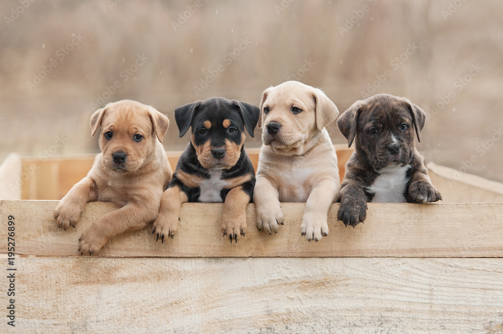 Fototapety, obrazy: American staffordshire terrier puppies sitting in a box