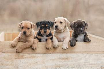 American staffordshire terrier puppies sitting in a box