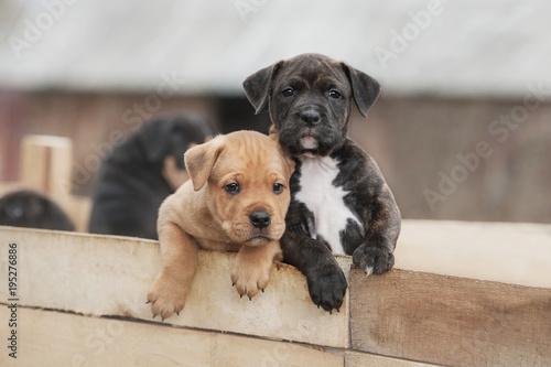 American staffordshire terrier puppies sitting in a box Canvas Print