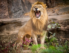 Male Lions Roaring, Standing O...