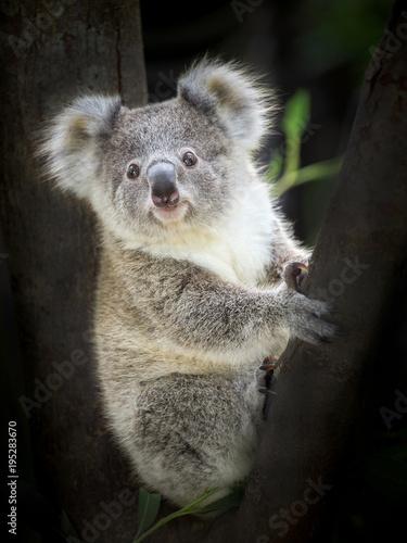 Garden Poster Koala Baby koala bear sitting on a tree.