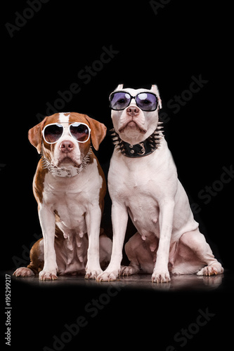 Fototapeta American Pit Bull Terrier and Staffordshire terrier with sunglasses sitting in front of black background obraz na płótnie