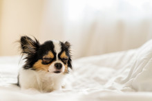Small Cute Sleepy Chihuahua Do...