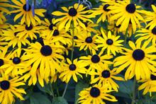 Colourful Yellow Rudbeckia Flo...