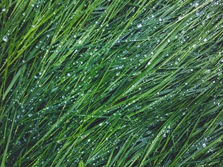 Fototapeta prato verde rigiada