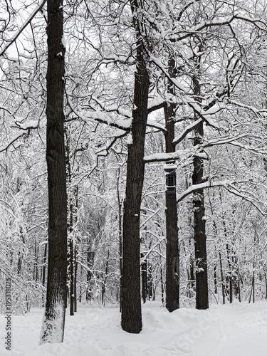 drzewa-w-sniegu-po-ciezkich-opadach-sniegu-duzo