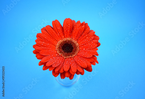 Deurstickers Gerbera Red gerbera flower stock images. Red gerbera flower on a blue background. Beautiful red gerbera daisy